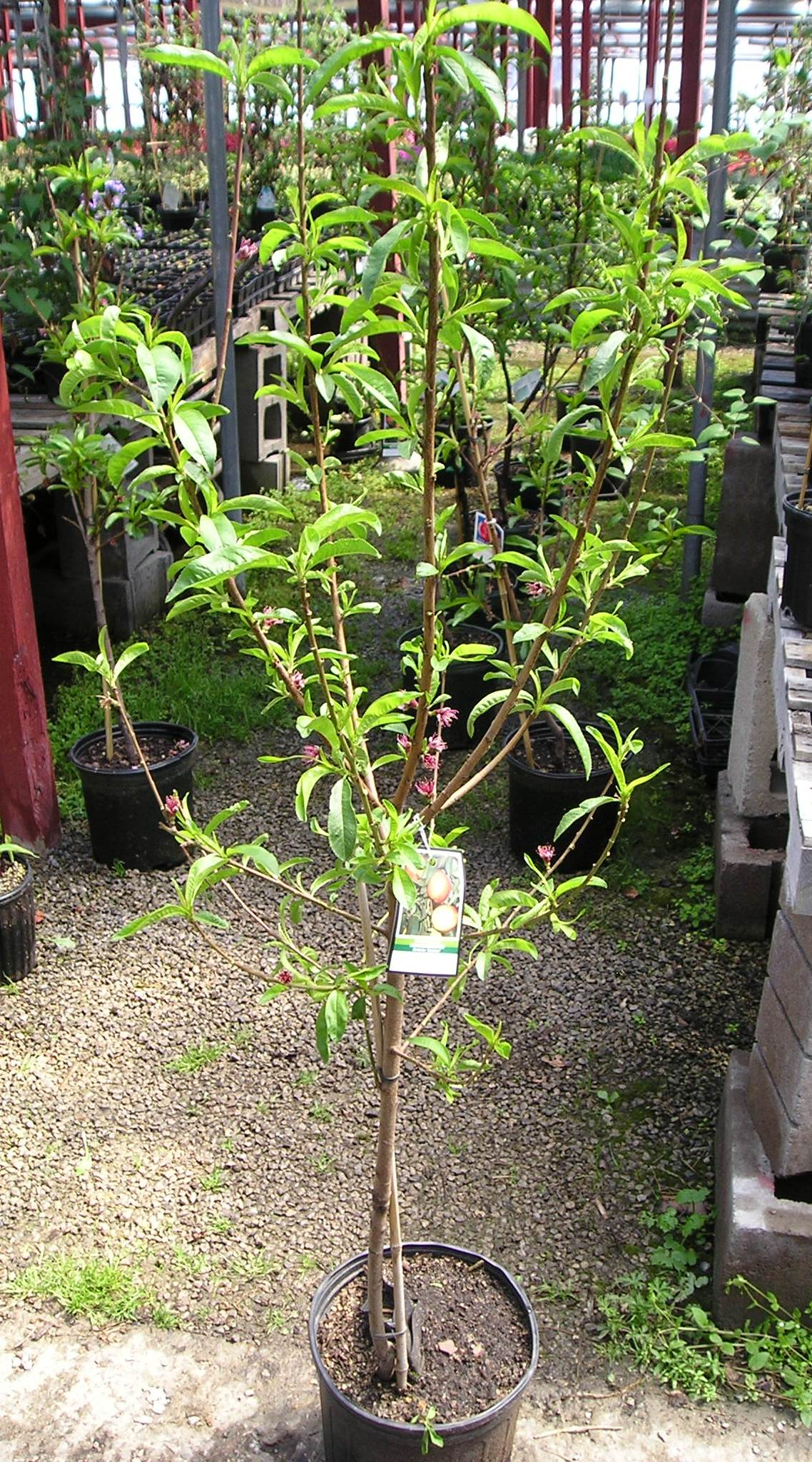 Stringer Nursery Trees