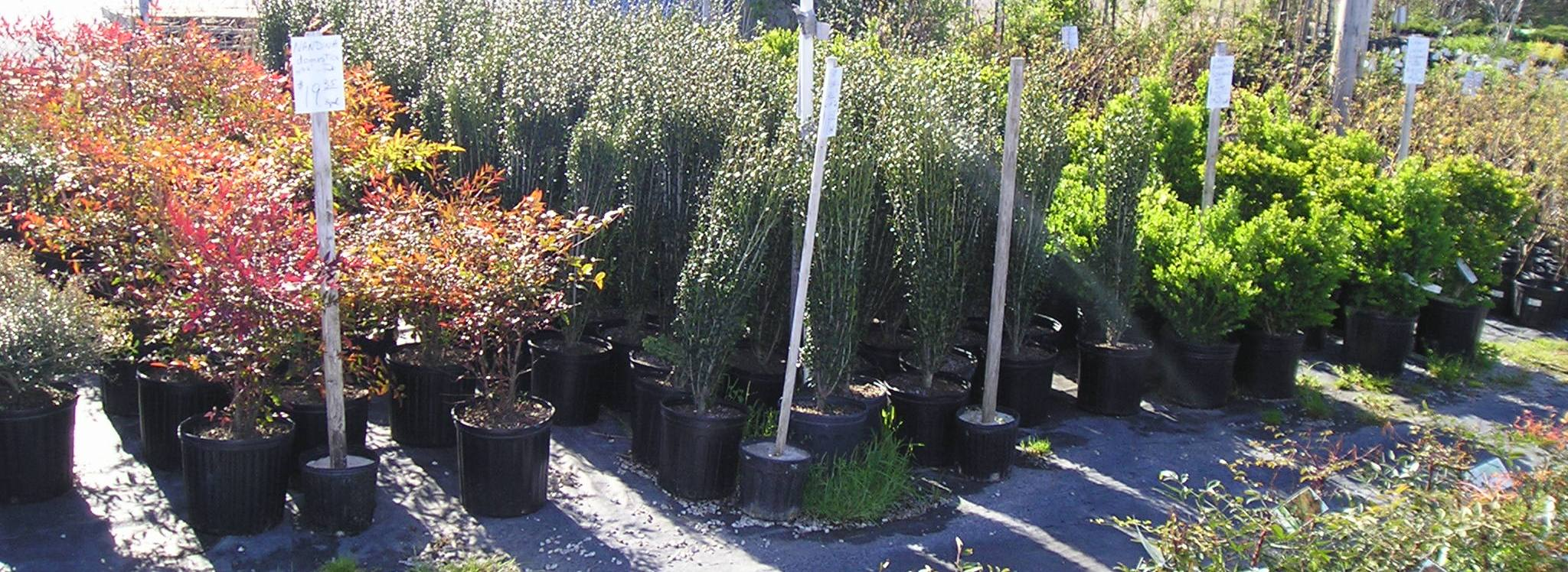 Stringer Nursery Evergreen Shrubs