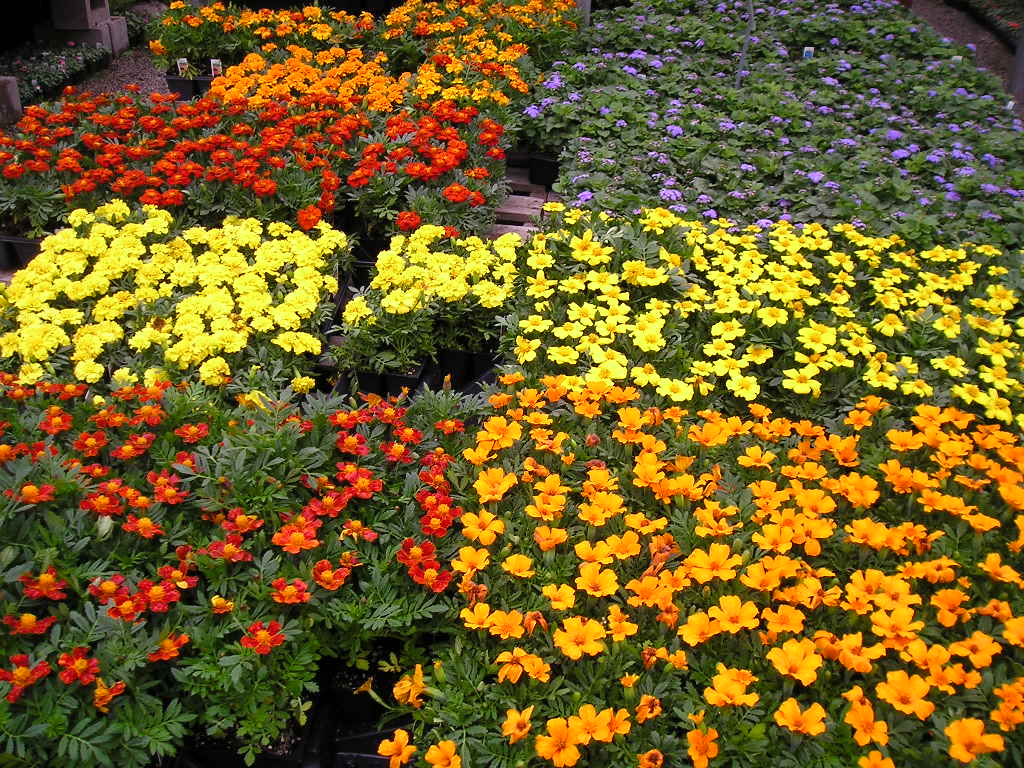 Bedding plants Plants in NanoPics
