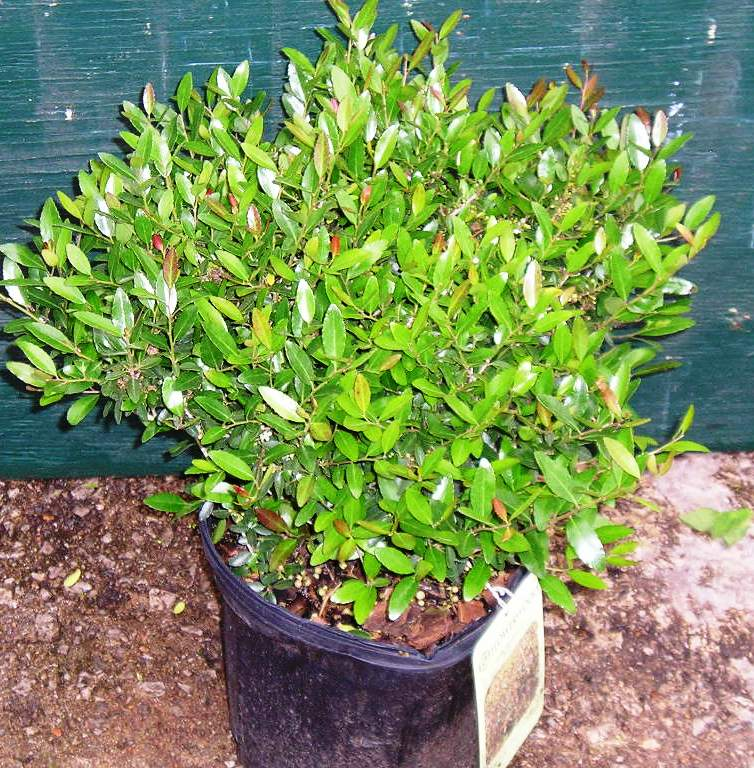 Stringer Nursery - Evergreen Shrubs